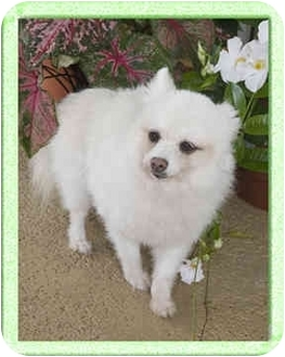 Pomeranian Dog for adoption in North Palm Beach, Florida - Snowflake
