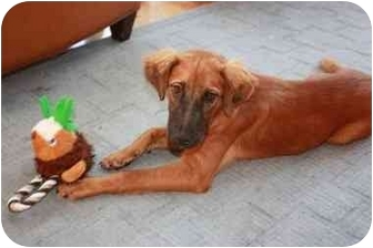 Shepherd (Unknown Type) Mix Dog for adoption in kennebunkport, Maine - Merritt - Pending!