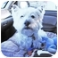 Photo 4 - Westie, West Highland White Terrier Dog for adoption in Frisco, Texas - Sprocket Adopted