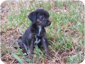 Labrador Retriever/Dachshund Mix Puppy for adoption in New Milford, Connecticut - Winnie