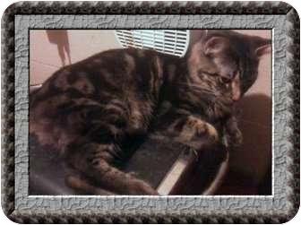 Manx Cat for adoption in Jacksonville, Florida - Monkey