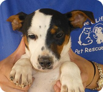 Beagle/Jack Russell Terrier Mix Puppy for adoption in Oviedo, Florida - jet