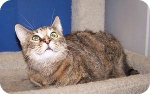 Domestic Shorthair Cat for adoption in Colorado Springs, Colorado - Betsy