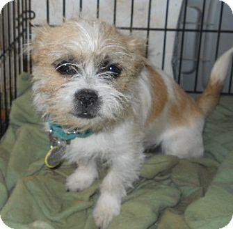 Jack Russell Terrier/Shih Tzu Mix Dog for adoption in dewey, Arizona - Norman