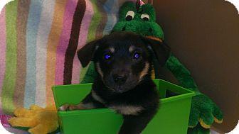 Sheltie, Shetland Sheepdog/Corgi Mix Puppy for adoption in Marietta, Georgia - Badger