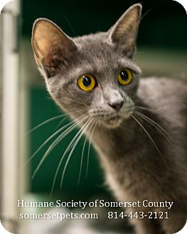 Domestic Shorthair Cat for adoption in Somerset, Pennsylvania - Lilly