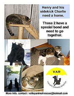 American Shorthair Cat for adoption in Douglas, Ontario - Henry and Charlie