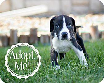 Great Dane Puppy for adoption in Broomfield, Colorado - Superman