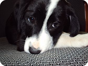 Border Collie Mix Puppy for adoption in BLACKWELL, Oklahoma - Piper