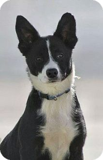 Border Collie Mix Dog for adoption in Overland Park, Kansas - Able