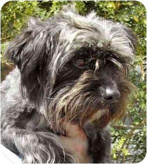 Schnauzer (Miniature)/Poodle (Miniature) Mix Dog for adoption in Rolling Hills Estates, California - Frankie