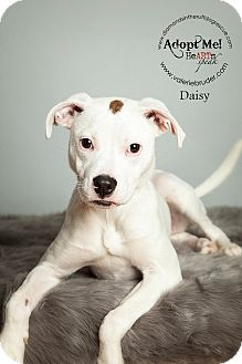Labrador Retriever/Terrier (Unknown Type, Small) Mix Puppy for adoption in Philadelphia, Pennsylvania - Daisy