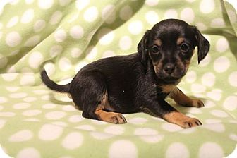 Cocker Spaniel/Patterdale Terrier (Fell Terrier) Mix Puppy for adoption in Hagerstown, Maryland - Hula