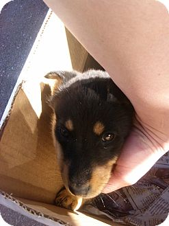 Shepherd (Unknown Type) Mix Puppy for adoption in Grants, New Mexico - Muffin