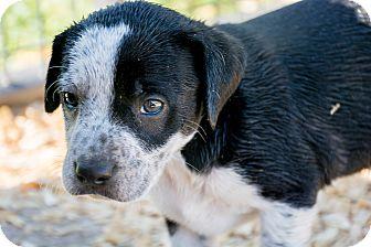 Labrador Retriever Mix Puppy for adoption in Seneca, South Carolina - Oreo $250