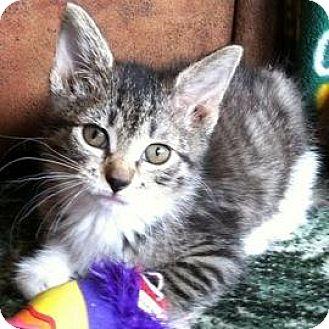 Domestic Shorthair Kitten for adoption in Janesville, Wisconsin - Leia