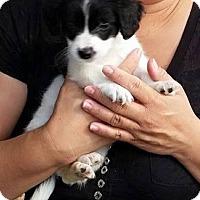 Adopt A Pet :: Bandit - Torrance, CA