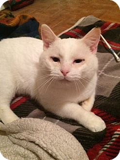 Domestic Shorthair Cat for adoption in stratford, Ontario - Frankie