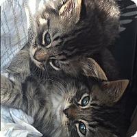 Adopt A Pet :: Nelson - Kitten (50.00) - Rochester, NY