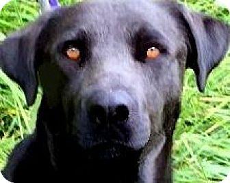 Labrador Retriever Dog for adoption in Winchester, Kentucky - SANDY(LOVNG--SO SWEET--A DOLL!