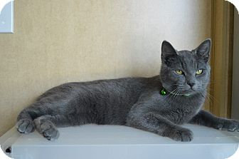 Domestic Shorthair Cat for adoption in Prince George, Virginia - Pickles
