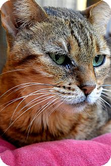 Bengal Cat for adoption in Mount Pleasant, South Carolina - Cougar
