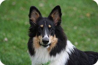 Collie Puppy for adoption in Powell, Ohio - Mischief