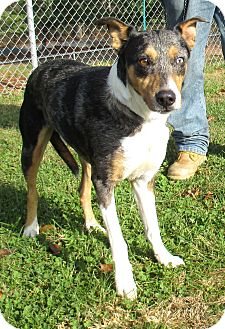 Catahoula Leopard Dog Mix Dog for adoption in Reeds Spring, Missouri - Chachi