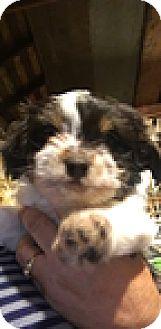 Shih Tzu Mix Puppy for adoption in Thousand Oaks, California - Zappa