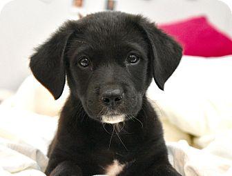 Labrador Retriever Mix Puppy for adoption in Chicago, Illinois - Clover