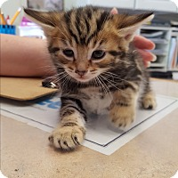 Adopt A Pet :: Kittens - Middletown, NY