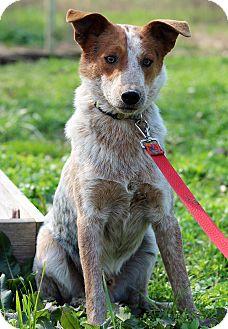 Australian Cattle Dog/Blue Heeler Mix Dog for adoption in Starkville, Mississippi - Tucker