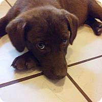 Adopt A Pet :: Mostaccioli~meet me~ - Glastonbury, CT