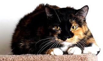 Domestic Shorthair/Domestic Shorthair Mix Cat for adoption in Reno, Nevada - Bindi