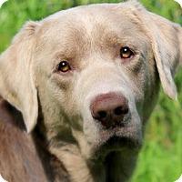 Adopt A Pet :: MAVERICK(PB