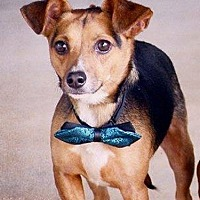 Adopt A Pet :: Beasley - Northwood, NH