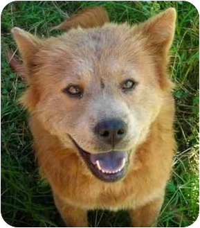 Chow Chow Mix Dog for adoption in Rolling Hills Estates, California - Cheyenne