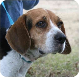 Beagle Mix Dog for adoption in kennebunkport, Maine - Sissy-ADOPTED!