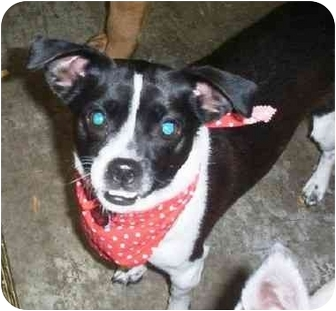 Boston Terrier/Chihuahua Mix Dog for adoption in Osseo, Minnesota - Wilbur