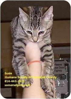 Domestic Shorthair Kitten for adoption in Somerset, Pennsylvania - Silver