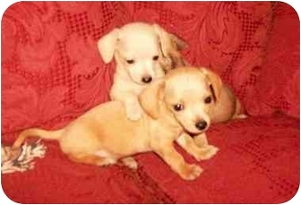 Chihuahua/Dachshund Mix Puppy for adoption in Cairo, Georgia - Pups 1-2