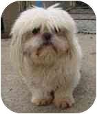 Shih Tzu Mix Dog for adoption in Foster, Rhode Island - Snowman