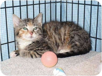 Calico Kitten for adoption in Colmar, Pennsylvania - Holle Berry