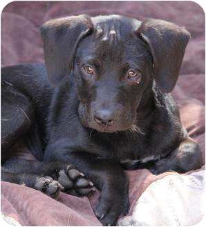 Labrador Retriever Mix Puppy for adoption in San Pedro, California - Tyson