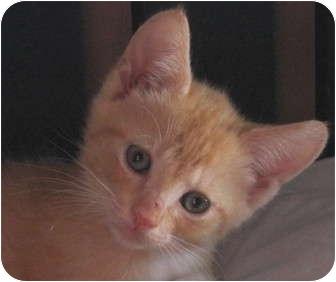 Domestic Shorthair Kitten for adoption in Charlotte, North Carolina - Fergie