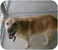 Labrador Retriever Mix Dog for adoption in Creston, British Columbia - Blondie