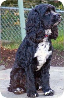 Cocker Spaniel Puppy for adoption in Lynnwood, Washington - Annakin-PENDING!!