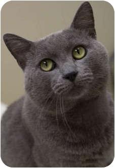 Russian Blue Cat for adoption in Chicago, Illinois - Bujo