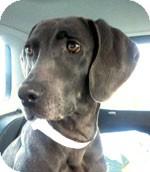 Weimaraner Dog for adoption in St. Louis, Missouri - Jade