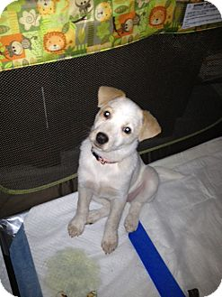 Australian Cattle Dog Puppy for adoption in Edgewater, New Jersey - Mai